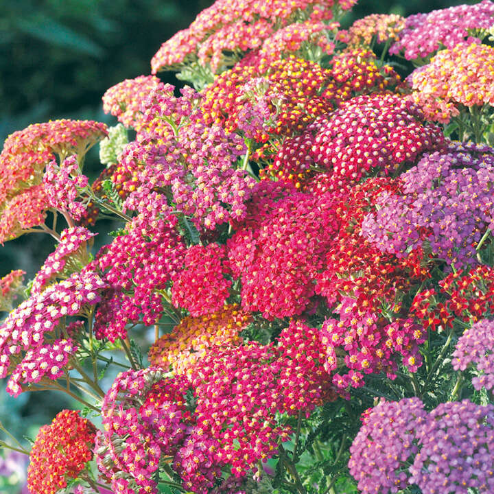Achillea Summer Berries-8819