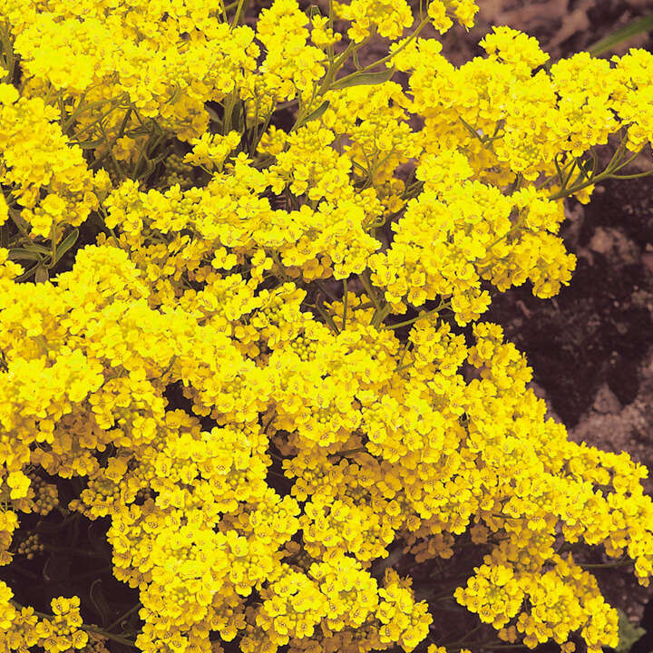 Alyssum Saxatile Golden Queen-8826