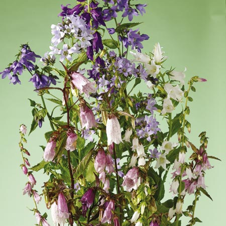 Campanula Cottage Garden Mix-8842