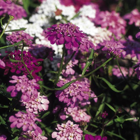 Candytuft Fairy Mix-8843