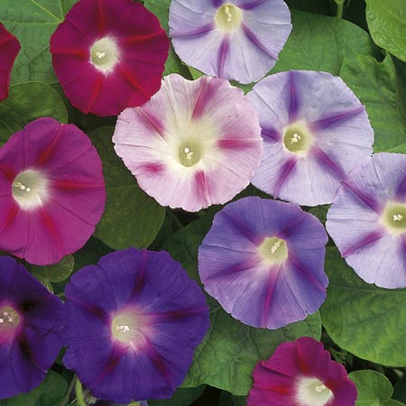 Convolvulus Major Trumpet Mix-8851