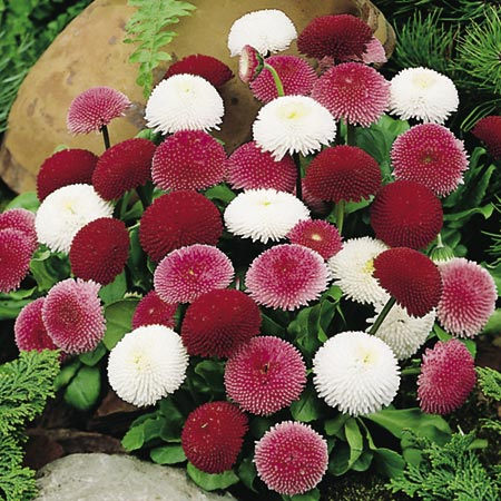 Daisy Bellis - Pincushion Mix-8859