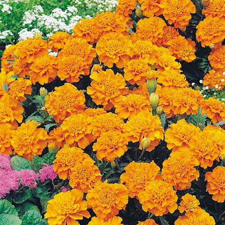 French Marigold Orange Winner-8889