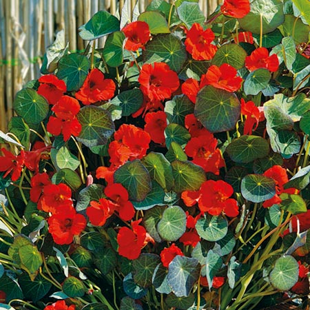 Nasturtium* Princess Of India-8894