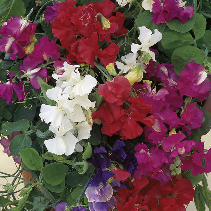 Sweet Pea Patio Mix-8941