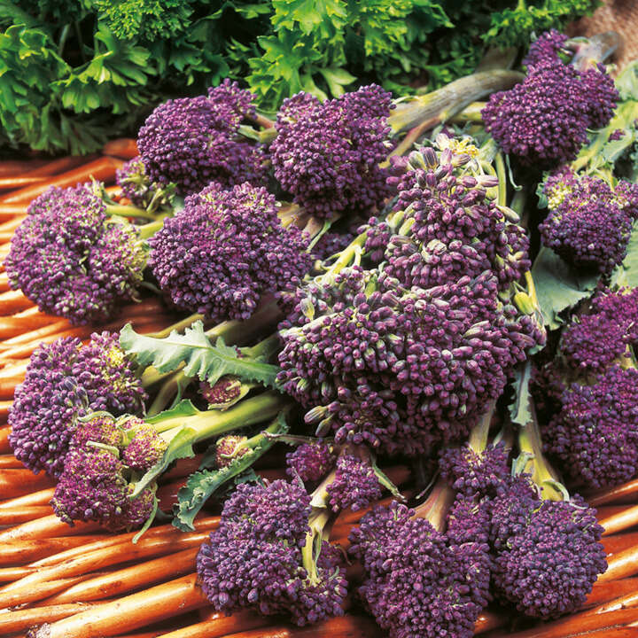 Broccoli Claret F1 - Sprouting-8975