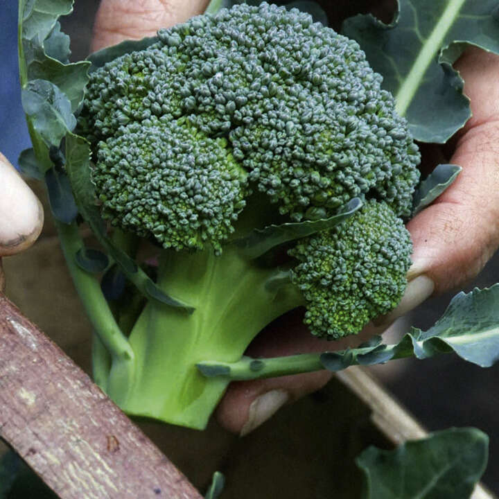 Broccoli Calabrese Green Magic F1-8979