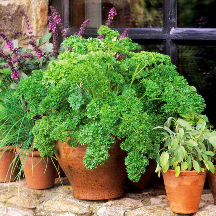 Herb Parsley Moss Curled 2-9053