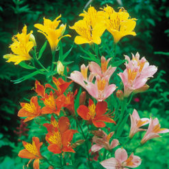 Alströmerian - Alstroemeria High Society Mix Seeds