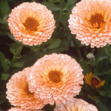 Ringblomma Seeds - Pink Surprise