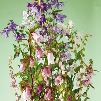 Blåklocka - Campanula Cottage Garden Mix Seeds