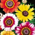 Ringkrage - Chrysanthemum carinatum Sunshine Mix Seeds