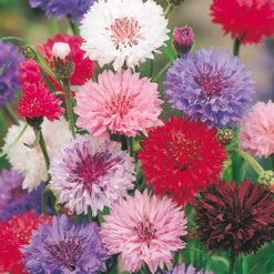 Blåklint - Cornflower Polka Dot Mix Seeds