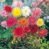 Dahlia Clangers Mix ' | Sutton Seeds