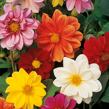 Dahlia Disco Dancer Mix Seeds