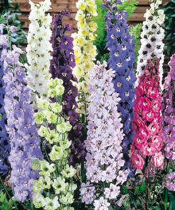 Riddarsporre - Delphinium Delight Mix Seeds