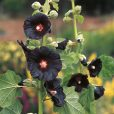 Stockros - Hollyhock Black Knight Seeds