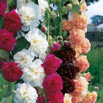 Stockros - Hollyhock Chater's Mix Seeds