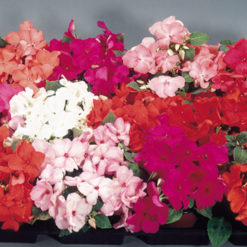 Flitiga lisa - Impatiens sultani Candy Mix Seeds