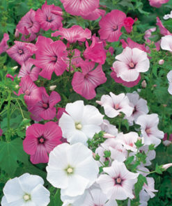 Sommarmalva - Lavatera trimestris Beauty Mix Seeds