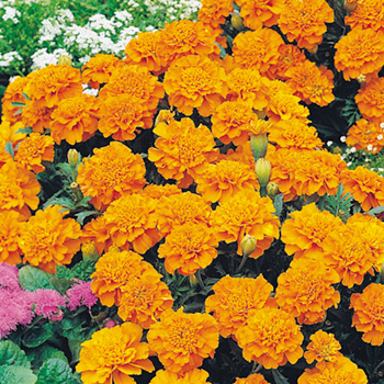 Tagetes - Marigold French Orange Winner Seeds