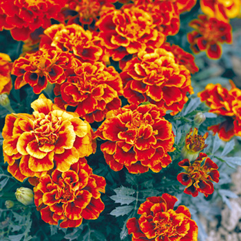 Tagetes - Marigold French Queen Sophia Seeds