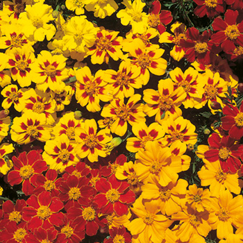 Tagetes - Marigold French Fantasia Mix Seeds