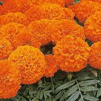 Tagetes ' Marigold African Space Hopper ' | Sutton Seeds