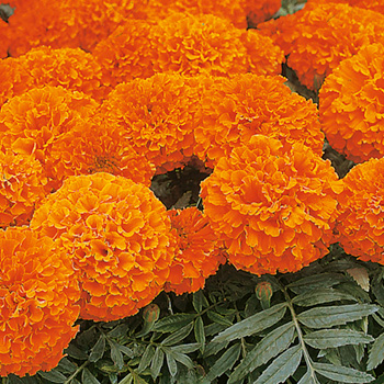 Tagetes - Marigold African Space Hopper Seeds