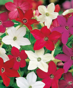 Blomstertobak - Nicotiana Evening Fragrance Mix Seeds