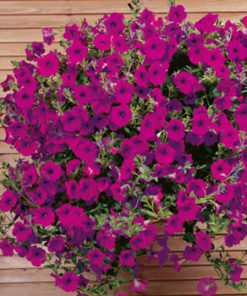 Petunia F1 Purple Wave SupaSeeds