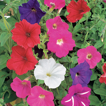 Petunia F2 Cheerful Mix Seeds
