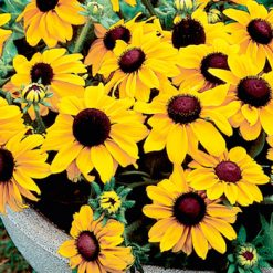 Rudbeckia Summer Light Seeds