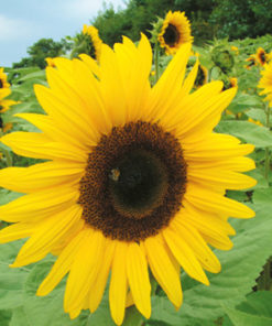 Solros - Sunflower Giant Yellow Seeds