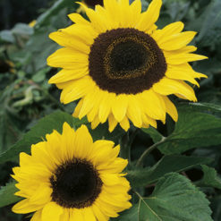 Solros - Sunflower Seed Collection