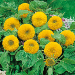 Solros - Sunflower Teddy Bear Seeds