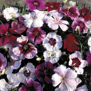 Nejlika - Dianthus Sugar Baby Mix Seeds