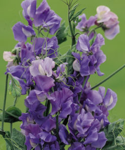 Luktärt - Sweet Pea Seeds - Noel Sutton