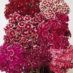 Borstnejlika - Sweet William Auricula-Eyed Mix Seeds