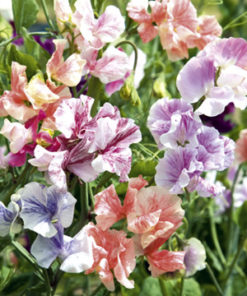 Luktärt - Sweet Pea Seeds - True Fragrance