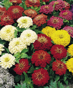 Zinnia Bright Spark Mix Seeds