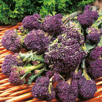 Broccoli (Sprouting) F1 Claret - Sutton Seeds