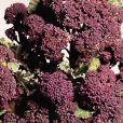 Broccoli (Sprouting) Rudolph - Sutton Seeds