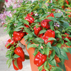 Paprika Sweet F1 Redskin - Sutton Seeds