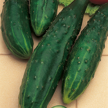 Gurka F1 Burpless Tasty Green - Sutton Seeds