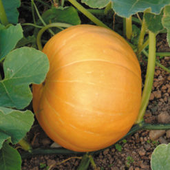 Pumpa Hundredweight - Sutton Seeds
