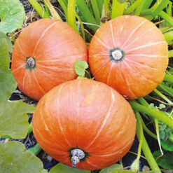 Pumpa Amazonka - Sutton Seeds