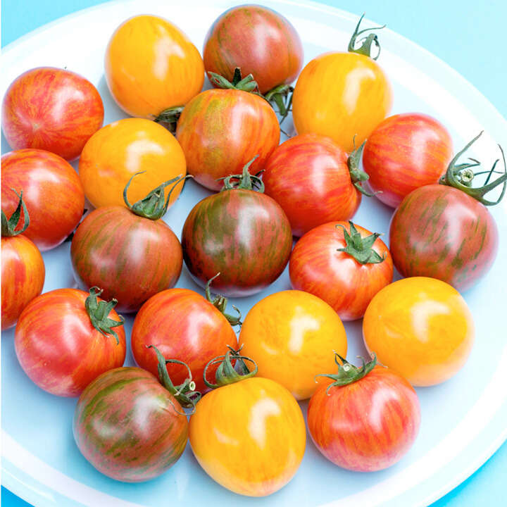 Tomato Artisan™ Bumble Bee Mix-9108