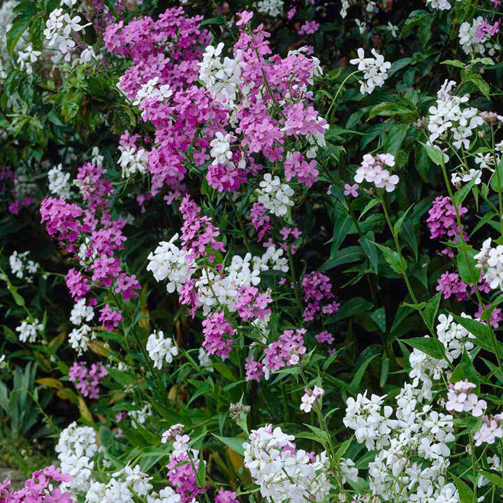 Hesperis Mix-8867