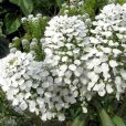 Roseniberis - Candytuft - Mount Hood - Suttons Seeds